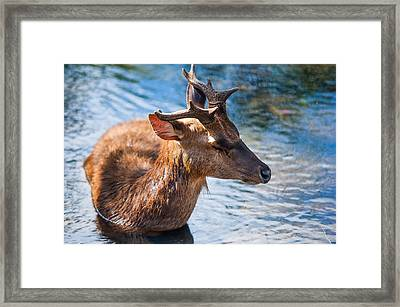 Lovely Time In Water 2. Male Deer In The Pampelmousse Botanical Garden. Mauritius Framed Print