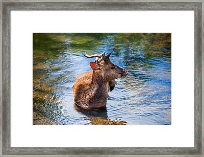 Lovely Time In Water.  Male Deer In The Pampelmousse Botanical Garden. Mauritius Framed Print