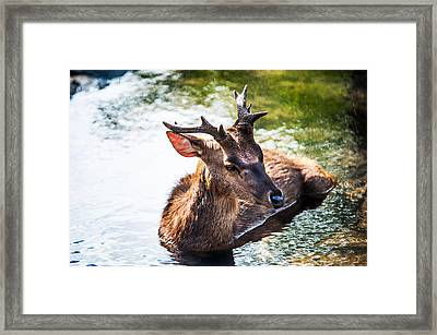 Lovely Time. Male Deer In The Pampelmousse Botanical Garden. Mauritius Framed Print