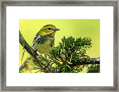 Lovely Warbler On A Summers Day Framed Print by Inspired Nature Photography Fine Art Photography