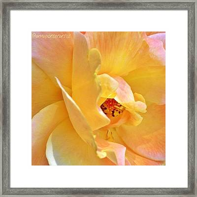 Lovely Yellow And Peach Rose Framed Print