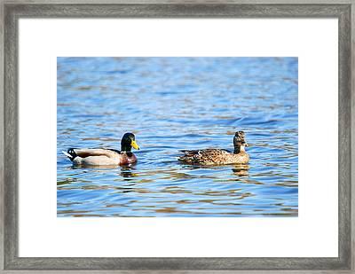 Male And Female Ducks Framed Print