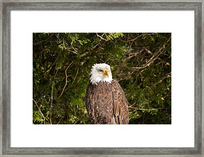 Low Angle View Of A Bald Eagle Framed Print by Panoramic Images