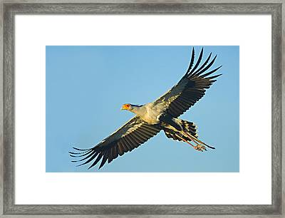 Low Angle View Of A Secretary Bird Framed Print by Panoramic Images