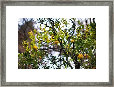 Low Angle View Of An Orange Tree Framed Print