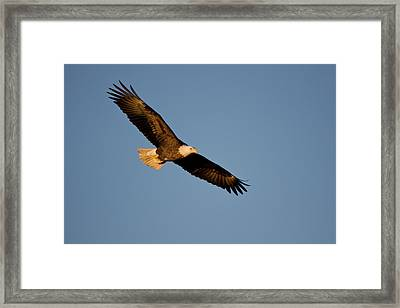 Low Angle View Of Bald Eagle Haliaeetus Framed Print by Panoramic Images
