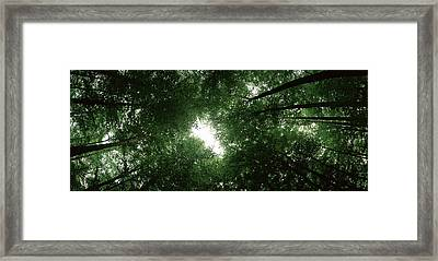 Low Angle View Of Beech Trees Framed Print by Panoramic Images