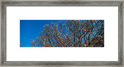 Low Angle View Of Cherry Trees Framed Print by Panoramic Images