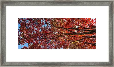 Low Angle View Of Maple Tree, Mount Framed Print