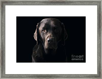 Low Key Chocolate Labrador Framed Print by Justin Paget