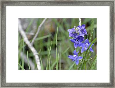 Low Larkspur In Yellowstone National Park Framed Print by Bruce Gourley