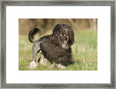 Lowchen Dog Framed Print