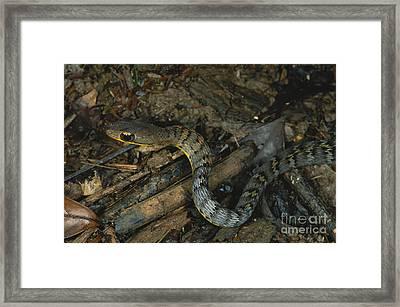 Lowland Forest Racer Framed Print