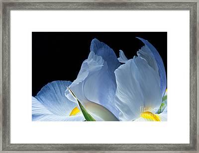 Lt Blue Iris 2013 Framed Print by Art Barker