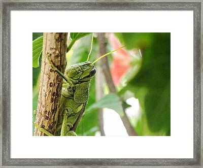 Framed Print featuring the photograph Lubber Grasshopper by TK Goforth