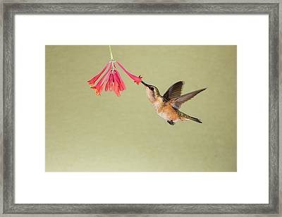 Lucifer Hummingbird (calothorax Lucifer Framed Print