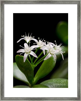 Lucky Bouquet Pt Jade Plant Friendship Tree Money Plant Framed Print by Andy Smy