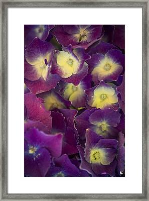 Lucky Seven Hydrangeas Framed Print by Scott Campbell