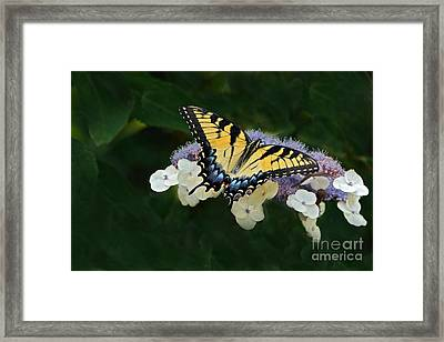 Luminous Butterfly On Lacecap Hydrangea Framed Print by Byron Varvarigos