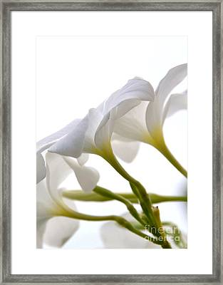 Framed Print featuring the photograph Luminous Plumeria - White by Darla Wood