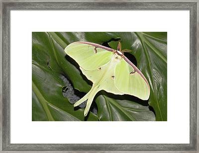 Luna Moth (actias Luna Framed Print