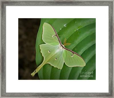 Luna Moth Framed Print by Alana Ranney