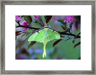 Luna Moth On Cherry Tree In Spring Framed Print