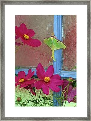 Luna Moth On Old Window With Cosmos Framed Print