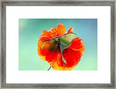 Luna Moth On Poppy Aqua Back Ground Framed Print by Randall Branham