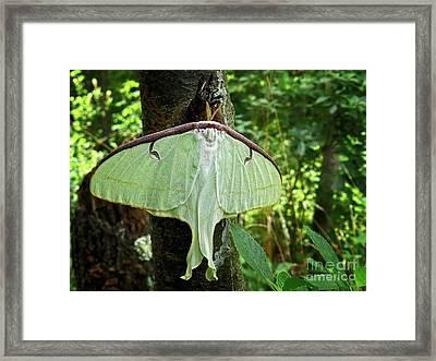 Luna Moth Framed Print