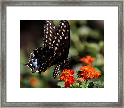 Lunch On The Fly Framed Print by Joe Kozlowski