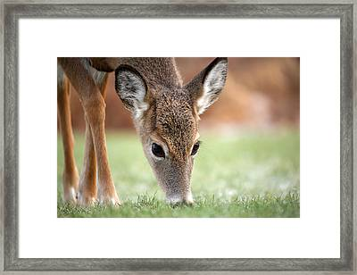 Lunch Time Framed Print by Karol Livote