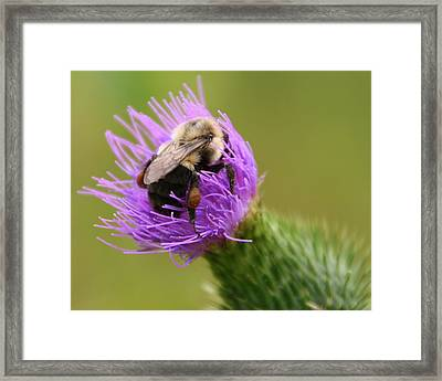 Lunching Atop A Thistle Framed Print by Laurel Talabere