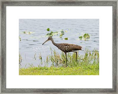 Lunching Lurching Limpkin Framed Print by John M Bailey
