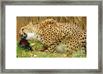 Lunchtime For Cheetah Framed Print by Emmy Marie Vickers