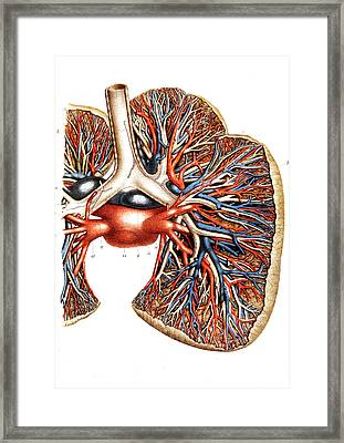 Lung Blood Supply Framed Print by Collection Abecasis