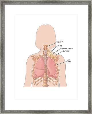 Lungs And Rib-cage Framed Print by John T. Alesi