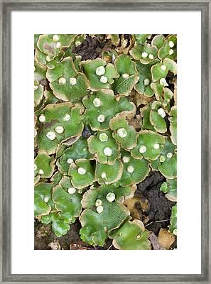 Lunularia Cruciata With Archegonia Framed Print by Dr Jeremy Burgess