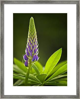 Lupin Bud Framed Print