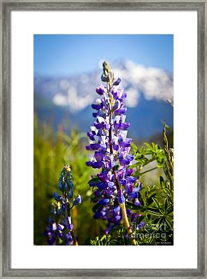 Lupin Framed Print by Chris Heitstuman