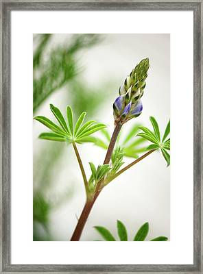 Lupin (lupinus Succulentus) Framed Print by Maria Mosolova