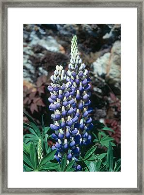 Lupine 2 Framed Print by Andy Shomock