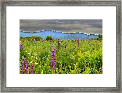 Lupine Breeze  Framed Print by Andrea Galiffi