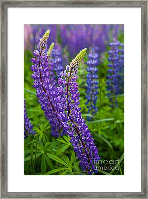 Lupine Curve Framed Print by Susan Cole Kelly