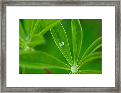 Lupine Dreams Framed Print by Lisa Knechtel