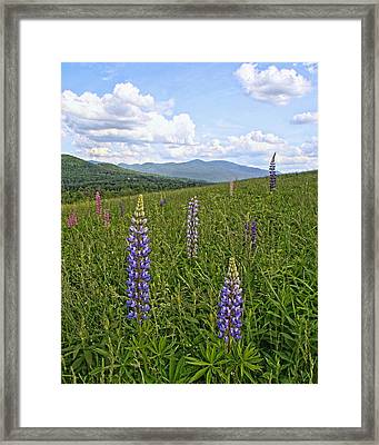 Lupine Hill Framed Print by Andrea Galiffi