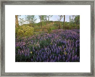 Lupine Indiana Dunes National Lakeshore Framed Print by Tim Fitzharris