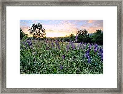 Lupine Morning Framed Print by Andrea Galiffi