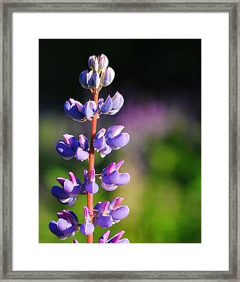 Framed Print featuring the photograph Lupine by Paul Noble
