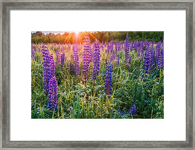 Wild Lupine Field At Sunrise Framed Print